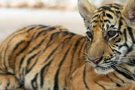 tigre bebe: Tigre beb� en el templo de Tailandia del tigre