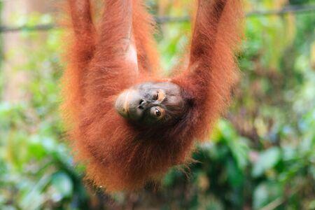 Orangutan winks at camera in Sepilok Jungle Rehabilitation centre, Borneo Stock Photo