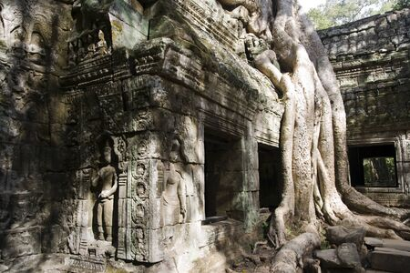 rainforest tree: Banyan trees grow from the ancient Ta Prohm temple ruin walls of the khmer city of angkor wat Stock Photo