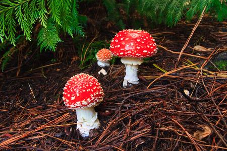 agaric: Fly Agaric red toadstool mushroom