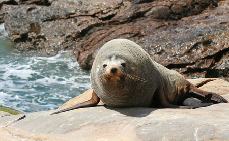 Sea lion on rocks looking at camera, new zealand