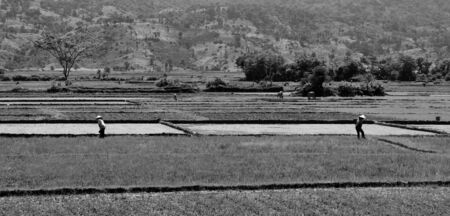 Black and White Rice Paddy workers harvesting in baking Vietnam heat