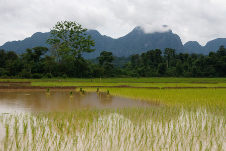 Rice paddy field with bundles of rice during harvest, Laos, South East Asia Stock Photo