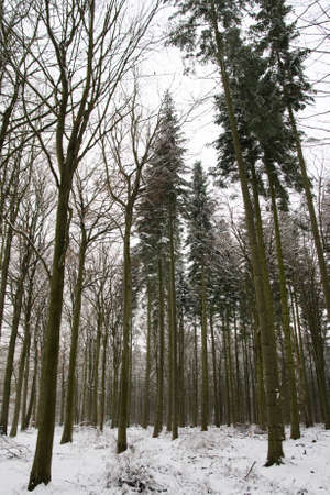 Snow covered Woodland in Winter Portrait