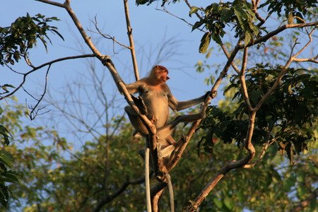 environmental conversation: Proboscis Monkey looks out from tree in the Borneo Jungle