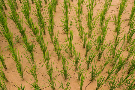 rainless: Dry mud rice paddy from above