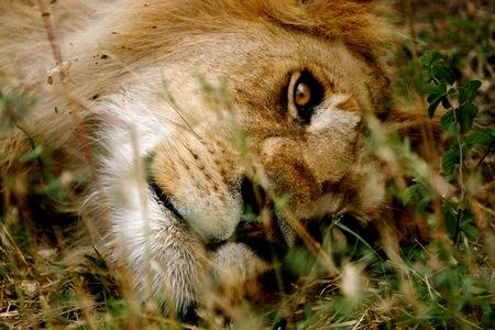 male lion: Male lion Stock Photo