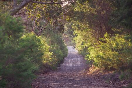 australia jungle: long path through forest