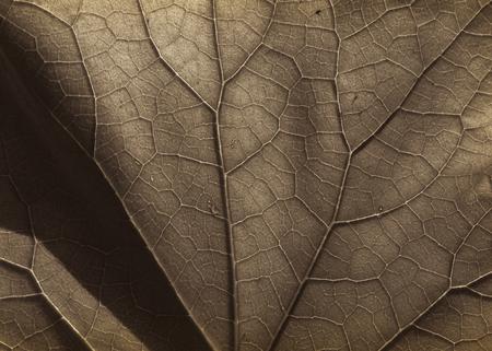 veins: leaf veins b&w