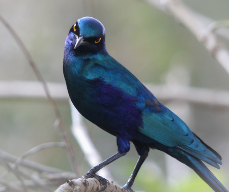 starring: blue starling starring Stock Photo