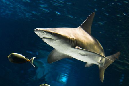 Shark Stock Photo - 5279869