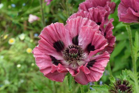 oriental poppy: Oriental plum colored poppy.Close up study of a beautiful plum colored poppy. Stock Photo