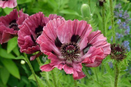 oriental poppy: Oriental plum colored poppy. Stock Photo