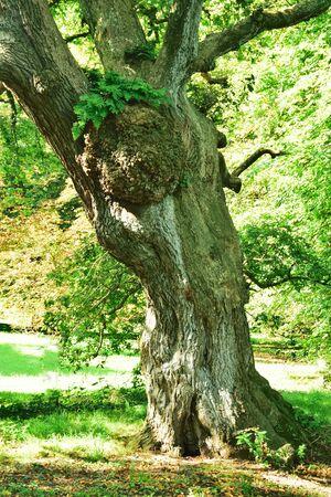english oak: Old English Oak tree. Stock Photo