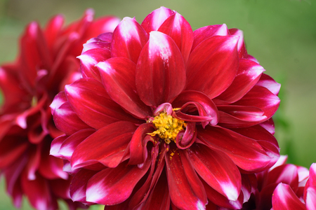 cottage garden: .Photograph taken in an English Country Cottage garden of a bright red Dahlia in close up.