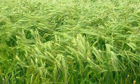 breeze: Wheat ripening in field, slight breeze moving the crop.