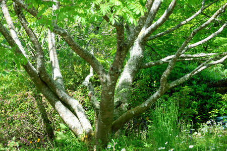 bark peeling from tree: Abeautiful tree spreading its trunks and branches under the summer sun in an English country garden.