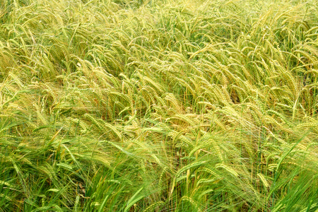 riped: Corn field.A cereal crop ripening under the summer sun, moving in the breeze. Stock Photo