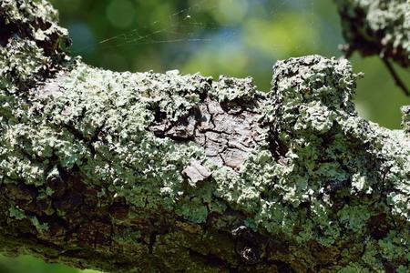 lichen: Lichen growing on tree branch.