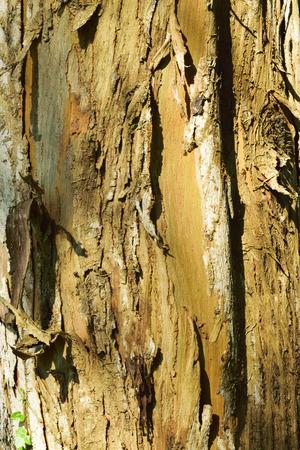 bark peeling from tree: TREE BARK.Exotic tree bark .