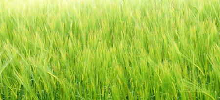 slight: Wheat ripening in field, slight breeze moving the crop.