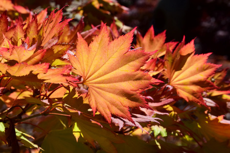 russet: Beautiful image of russet colored leaves framed with the Autumn sun shining through them, a stunning sight.