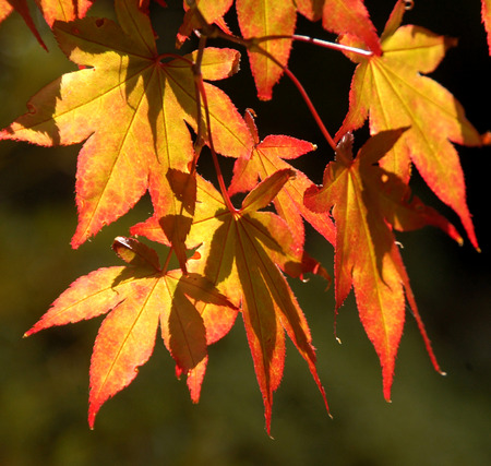 russet: Beautiful image of russet colored leaves framed with the Autumn sun shining through them, a stunning sight.. Stock Photo