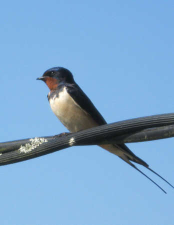 forked tail: Swallow Perched on Cable