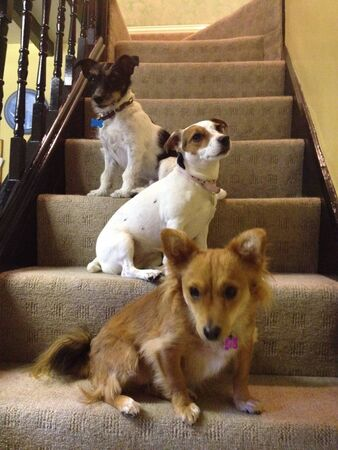 bannister: 3 puppies on stairs in cottage