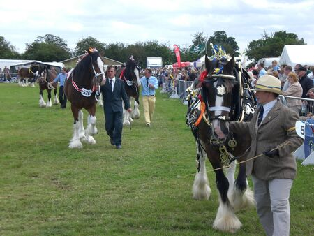 shire horse: Procession of Shire Horses at Derbyshire show