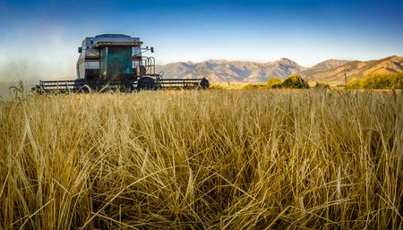 Combine harvesting barley in Montana field Stock Photo