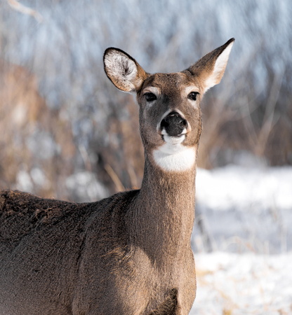 outdoorsman: Mule deer posing in field