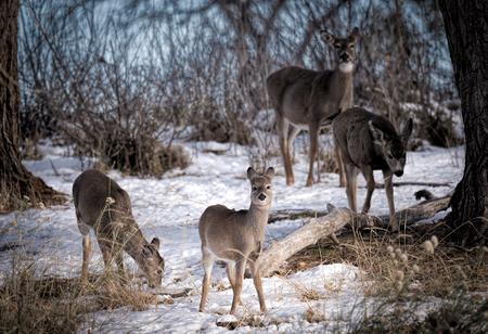 mule: Winter family portrait: mule deer