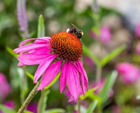 echinacea purpurea: Bee with Echinacea Purpurea