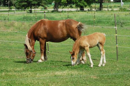 Mare and Colt Grazing photo