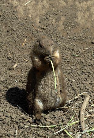 munching: Prairie Dog Munching