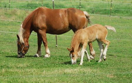 Grazing Mare and Colt photo