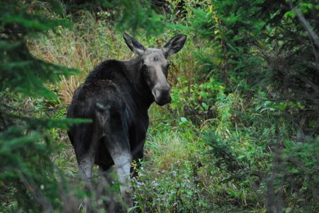 Cow Moose in Maine