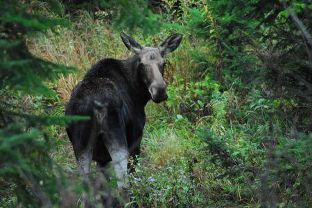 Cow Moose nel Maine Archivio Fotografico - 3263256