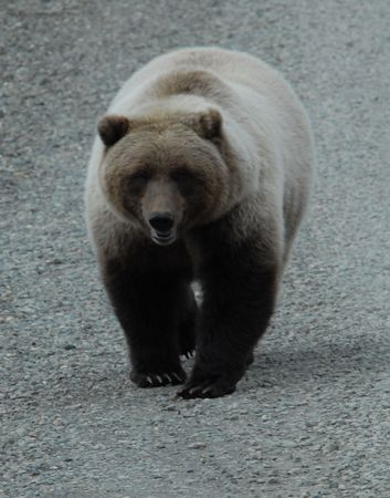 Grizzly Bear in Denali National Park photo