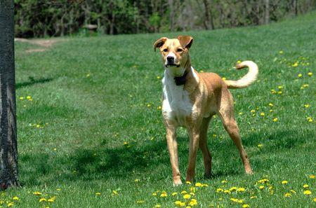 guard dog: Old Yellow Guard Dog on the Farm