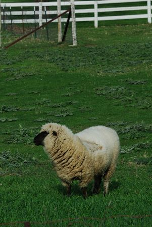 wooly: Wooly Sheep by the White Fence Stock Photo