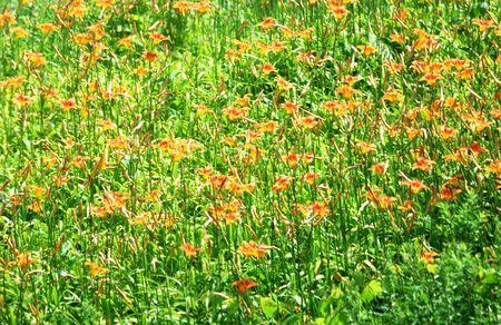 hillside: Orange Flowers on the Hillside Stock Photo