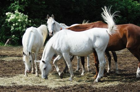 Three White Horses, One Brown Horse Eating Hay photo