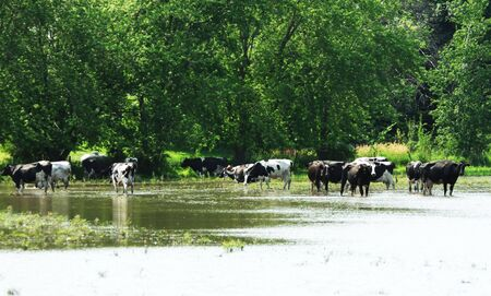 Cattle in Flooded Pasture