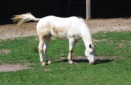 White Grazing Horse Swatting Flies with Tail