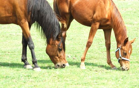 Two Brown Horses Grazing Together