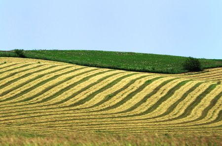 hay: Stripes of Hay in Freshly Mown Alfalfa Field Stock Photo