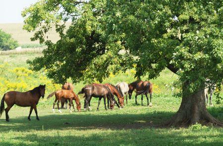 Horses Near a Big Shade Tree