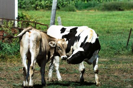 cattle wire wires: Two Cows Kissing in the Pasture Stock Photo